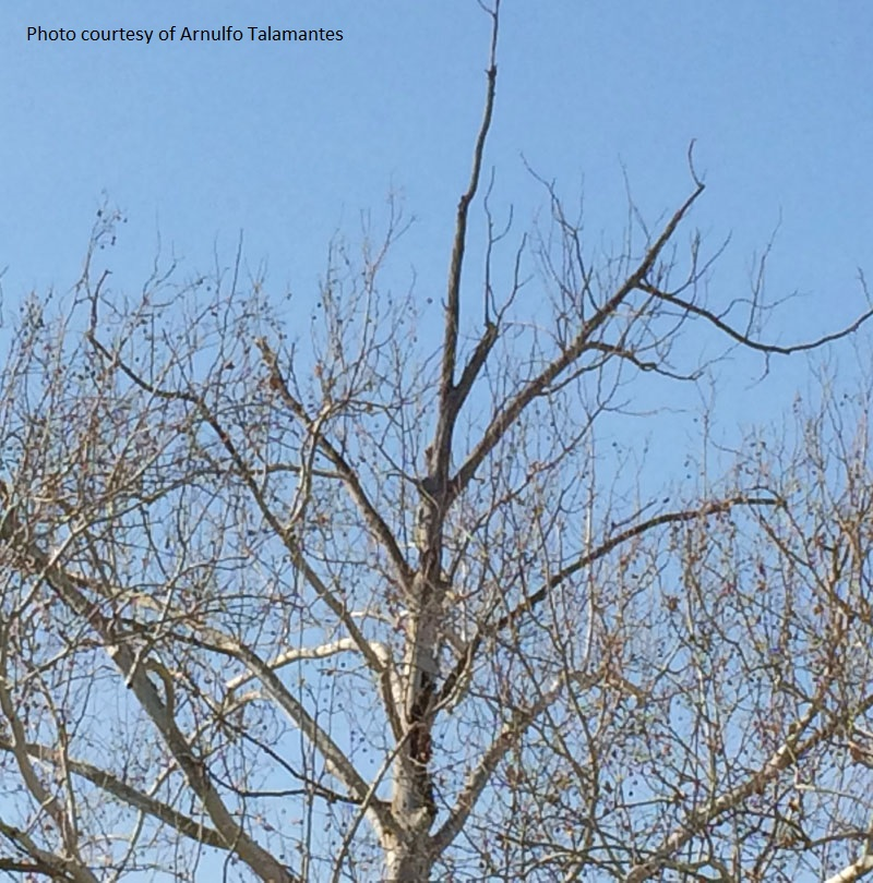 sycamore tree problem Central Texas Gardener