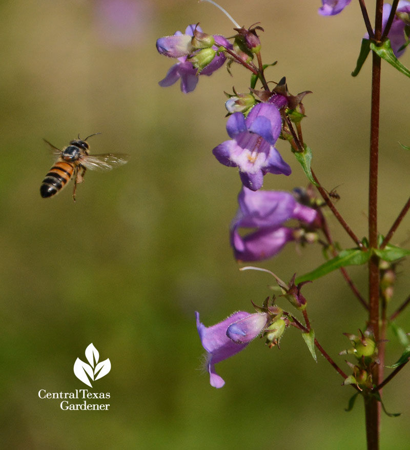 Gulf penstemon bee Central Texas Gardener