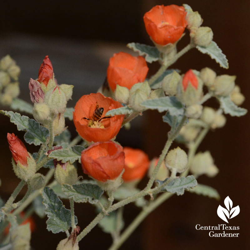 bee in native globe mallow Central Texas Gardener