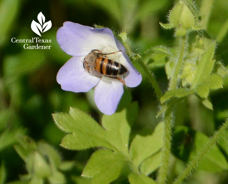bee on native baby blue eyes wildflower Central Texas Gardener