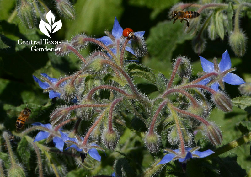 bees and lady bug on borage Central Texas Gardener