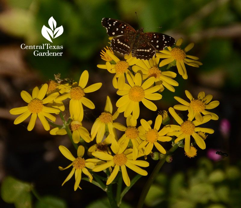butterfly Texan Crescent on golden groundsel Central Texas Gardener