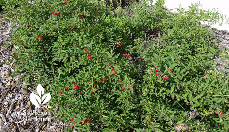 dwarf Barbados cherry Central Texas Gardener
