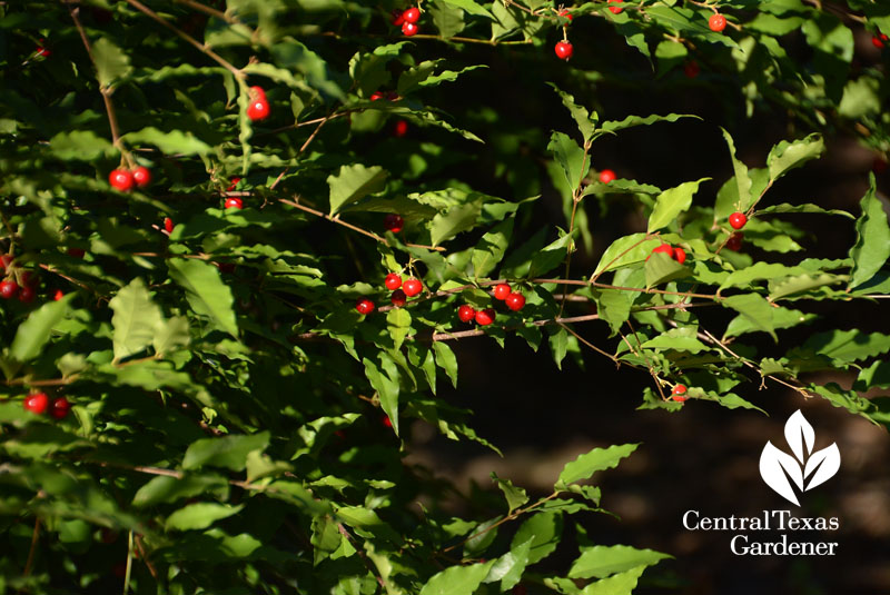 native Barbados cherry fruits Central Texas Gardener