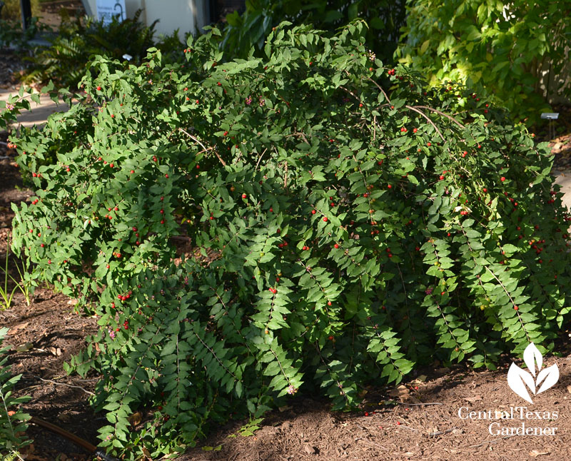 native Barbados cherry sun and shade Central Texas Gardener