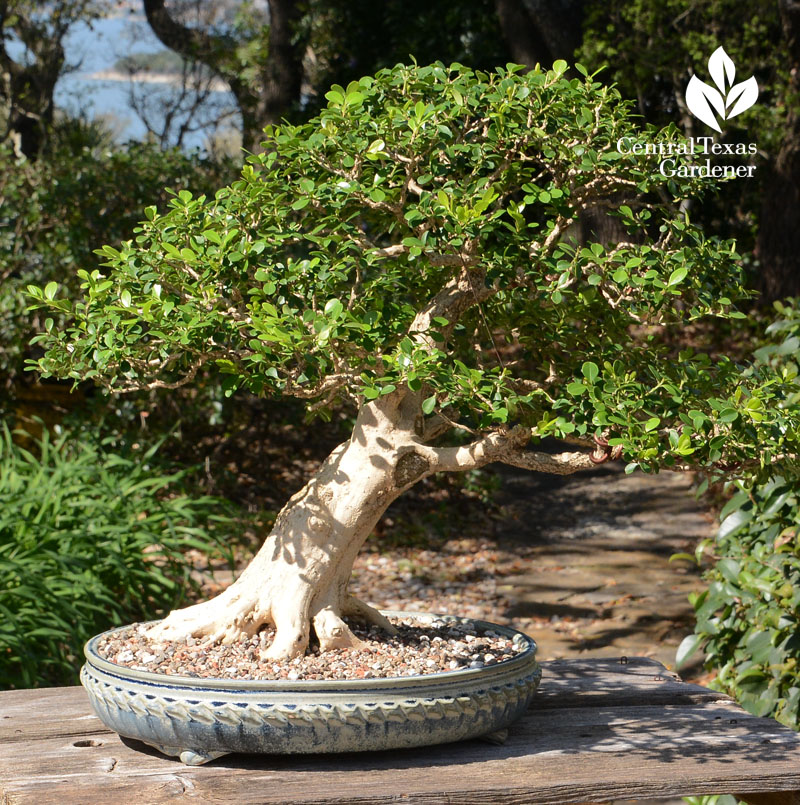 Bonsai boxwood Austin Bonsai Society Central Texas Gardener