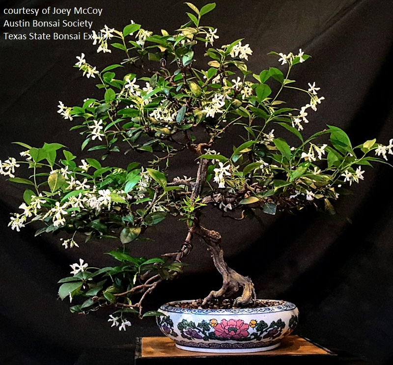 Confederate jasmine bonsai Austin Bonsai Society Central Texas Gardener
