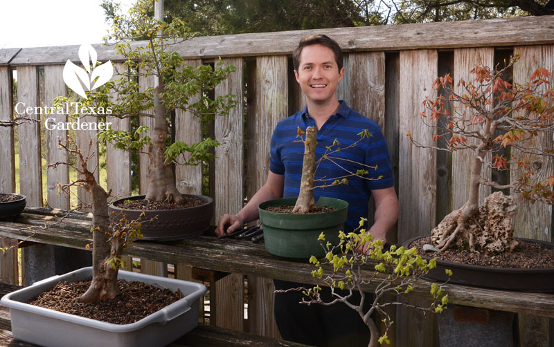 Jonathan Wood trident maple bonsai Central Texas Gardener