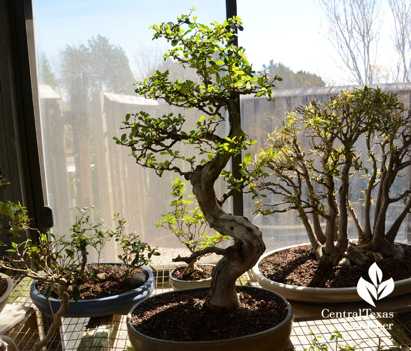 bonsai greenhouse Central Texas Gardener
