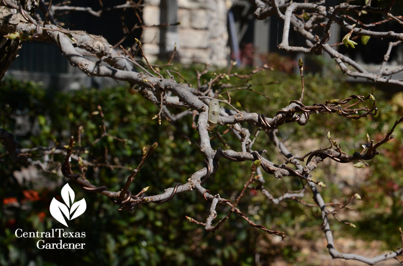 bonsai training wires Central Texas Gardener