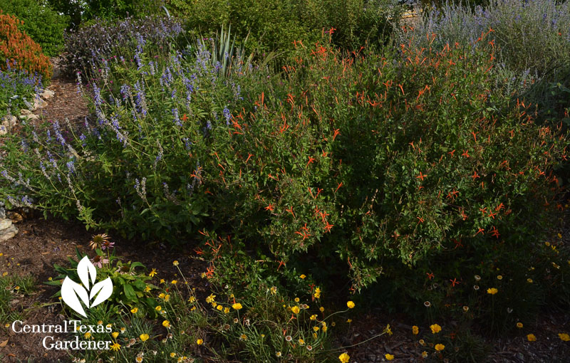 flame acanthus salvia farinacea and four-nerve daisy habitat garden Central Texas Gardener