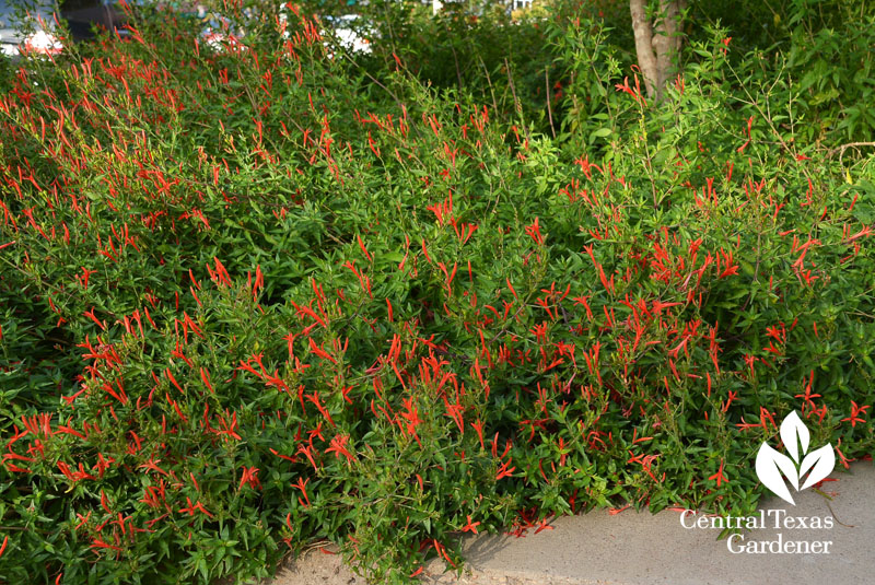 native flame acanthus BELO UT Central Texas Gardener