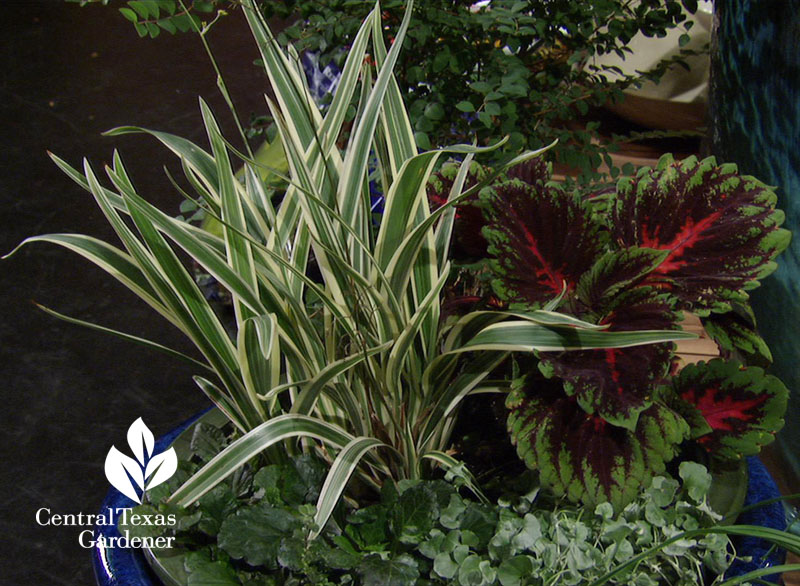 Dianella, Kong red coleus, ajuga, silver ponyfoot container Central Texas Gardener