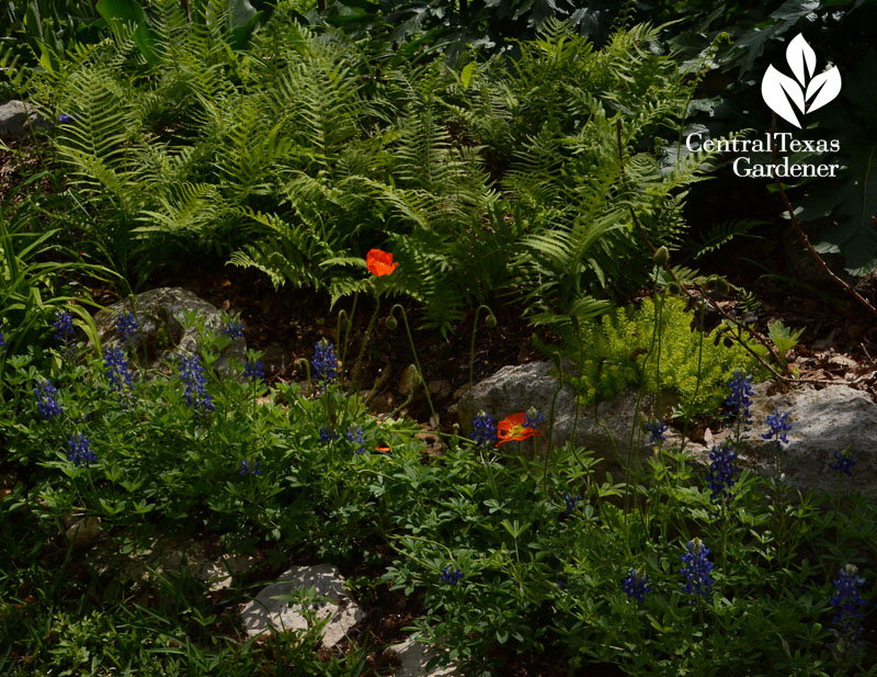 Ferns bluebonnets poppies garden design Central Texas Gardener
