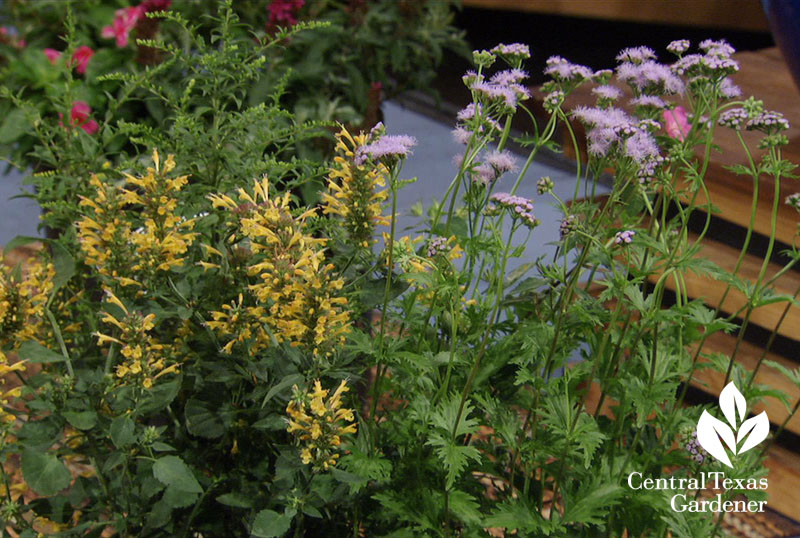Fireworks goldenrod, rock rose, Gregg's mistflower Central Texas Gardener