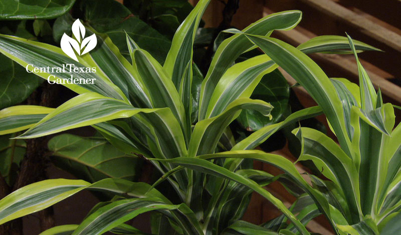 'Lemon Lime' dracaena houseplant Central Texas Gardener