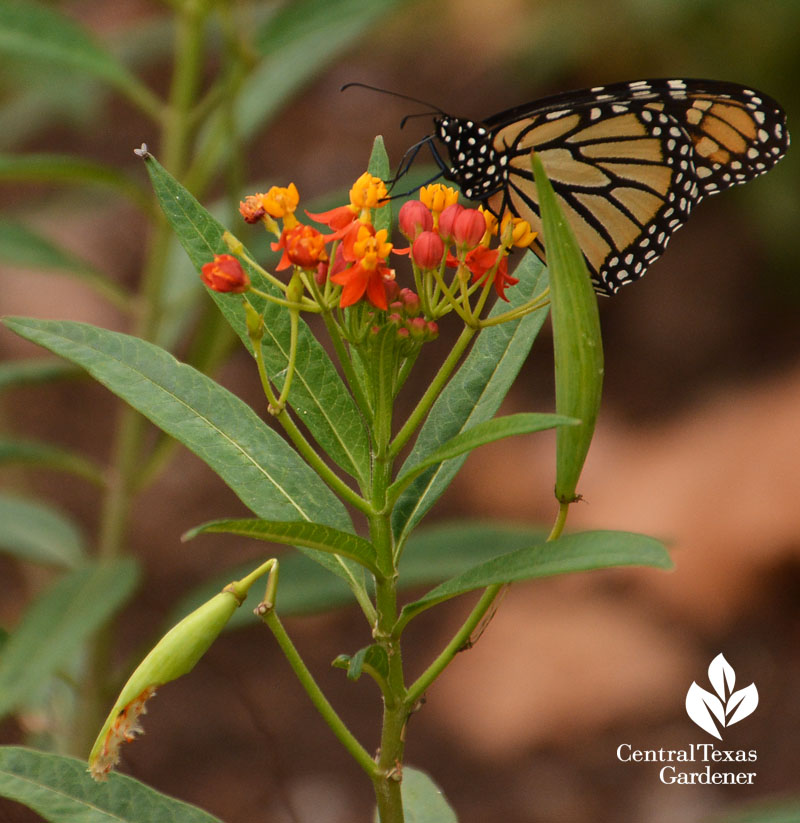 Monarch butterfly on tropical milkweed Central Texas Gardener