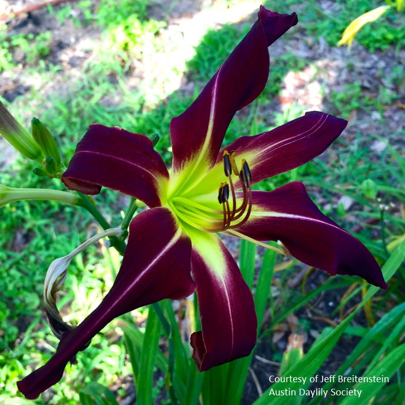Purple daylily photo by Jeff Breitenstein Austin Daylily Society Central Texas Gardener