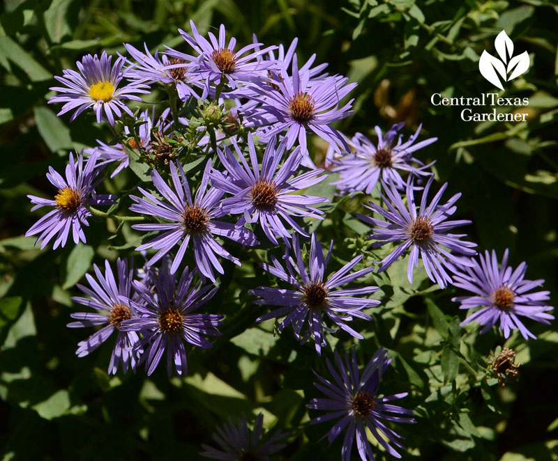 asters blooming in spring Central Texas Gardener