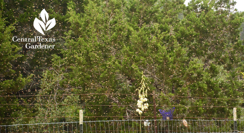 bee swarm Bee Friendly Austin