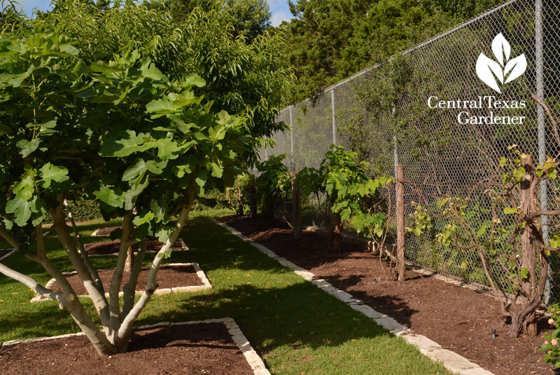 grape vine fence fruit orchard instead of tennis court Central Texas Gardener