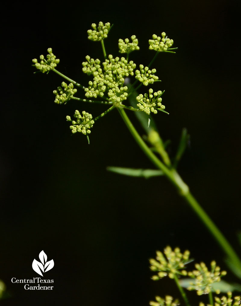 parsley flower umbrels Central Texas Gardener