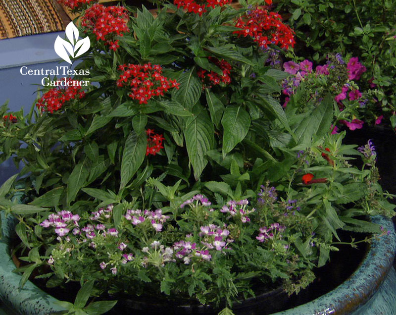 penta and verbena container garden for bees and butterflies Central Texas Gardener