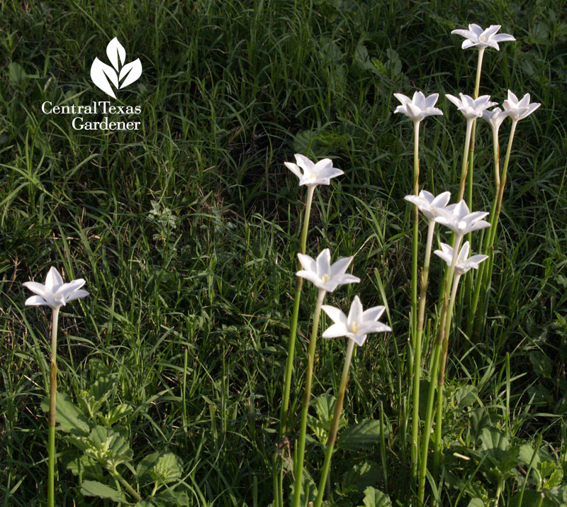 Rain lilies popping up in lawn Central Texas Gardener