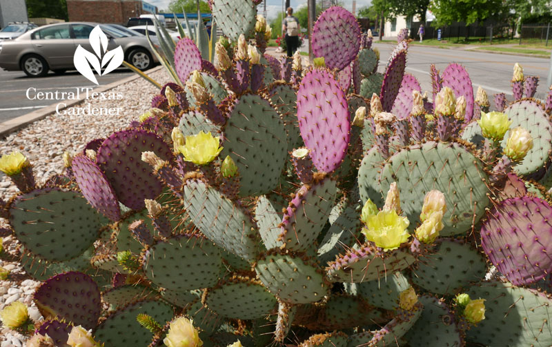 Image result for waco Tx prickly pear