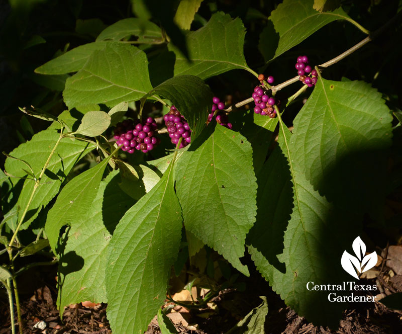 American beautyberry purple berries native Texas plant Central Texas Gardener