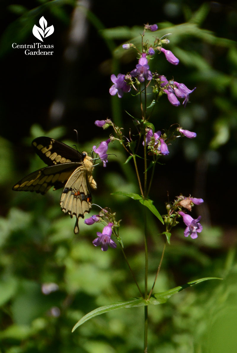 native, butterflies, bees, hummingbirds, spring bloom