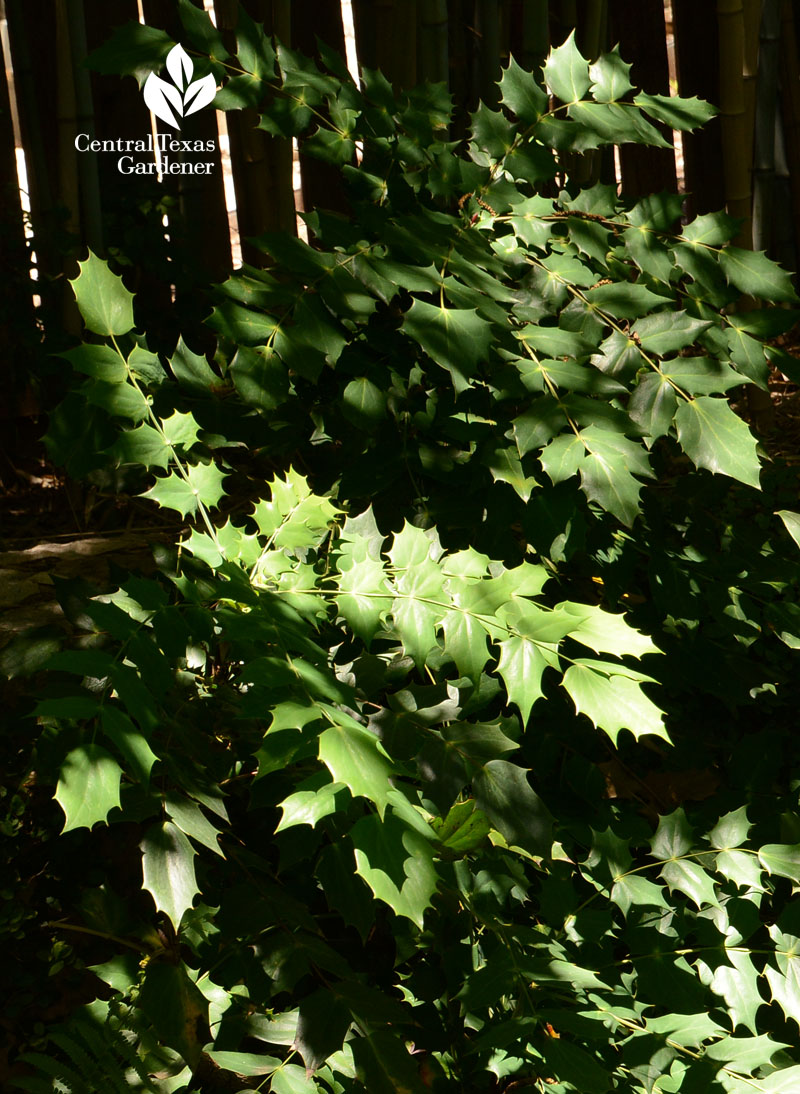 Mahonia for shade and texture Central Texas Gardener