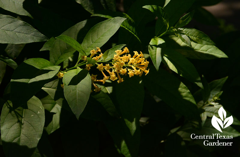 Orange Zest cestrum hummingbird flowers Central Texas Gardener