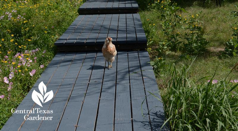 pathway, chicken, Asher
