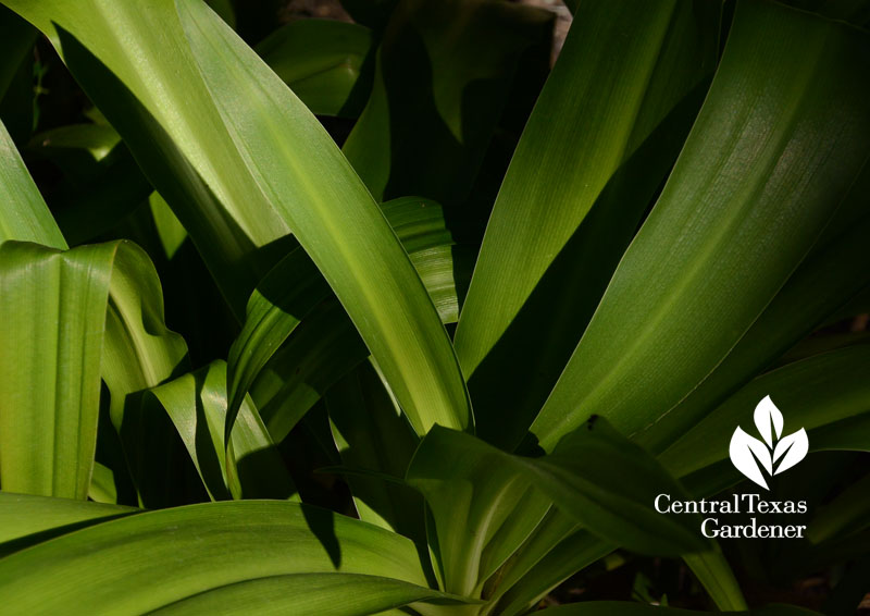 crinum foliage Central Texas Gardener