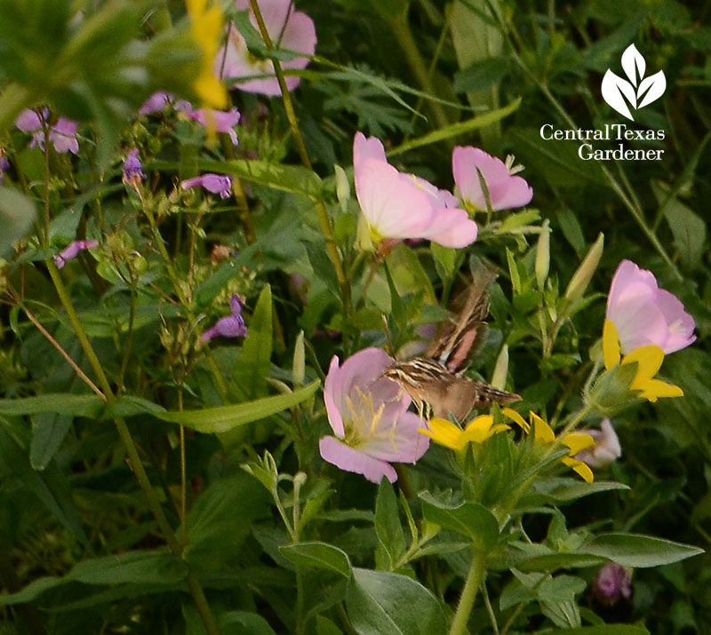 moth, wildlife, native plants, Asher