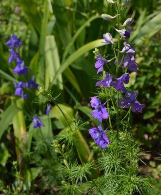 larkspur central texas gardener