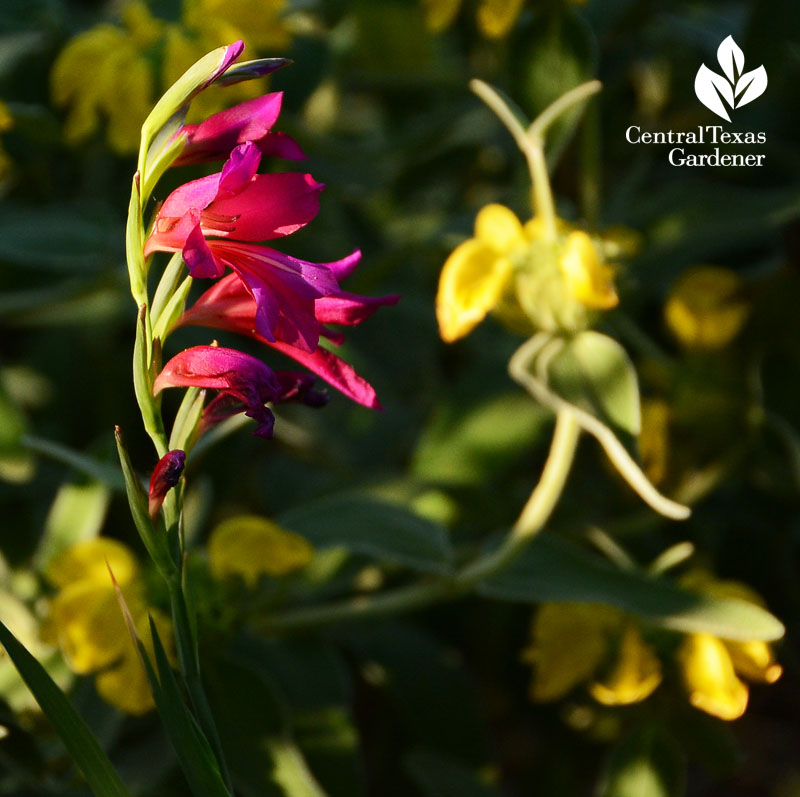 Byzantine gladiolus and Jersusalem sage flowers Central Texas Gardener