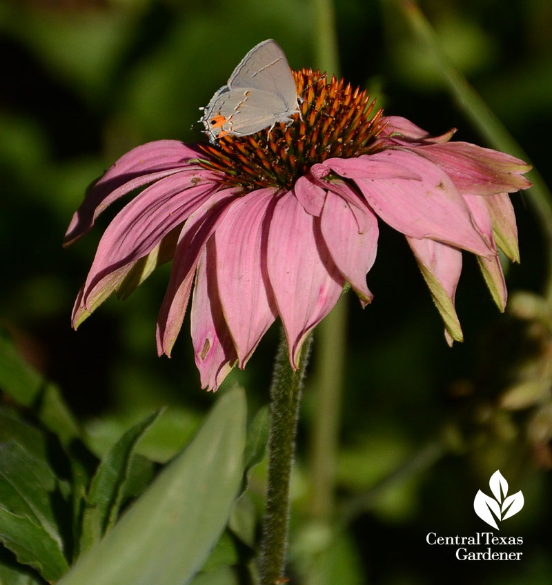 Just Because Flowers Donu0027t Look That Great To Us, Theyu0027re Still Tasty Spots  For Pollinators To Grab A Bite, Like This Gray Hairstreak Butterfly On  Tattered ...