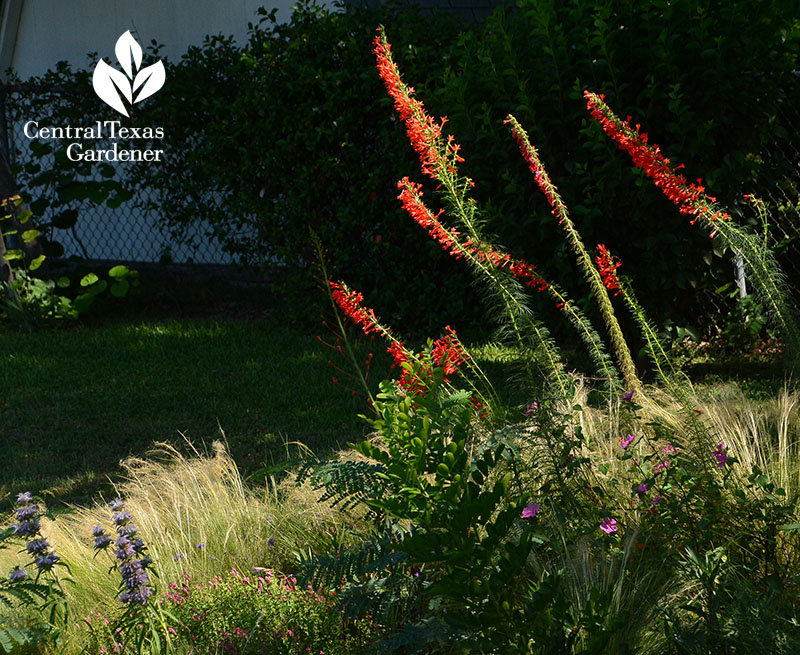 native standing cypress with Mexican feather grass Central Texas Gardener