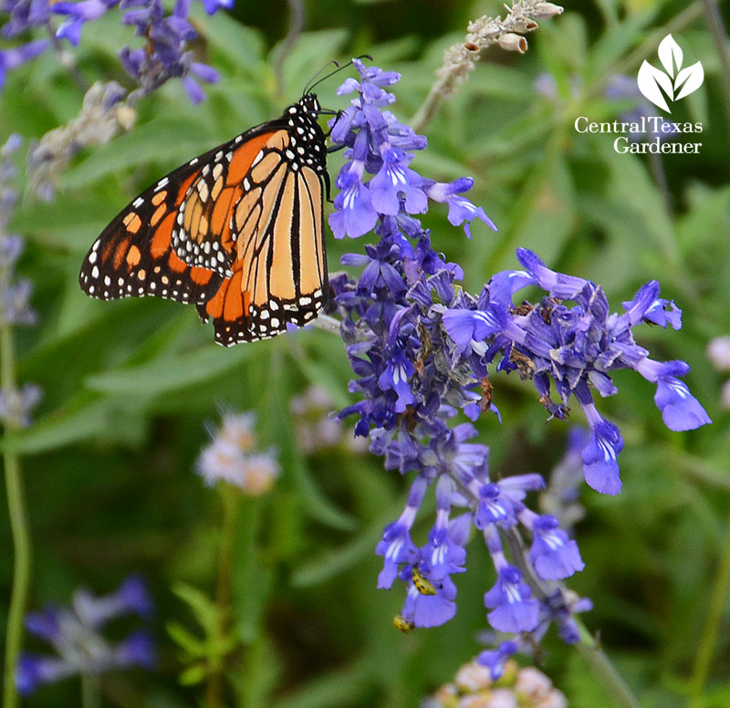 Monarch butterfly on Salvia farinacea 'Henry Duelberg'