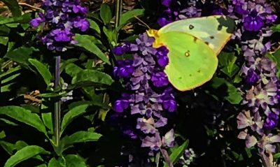 Pollinator Plants from our Viewers