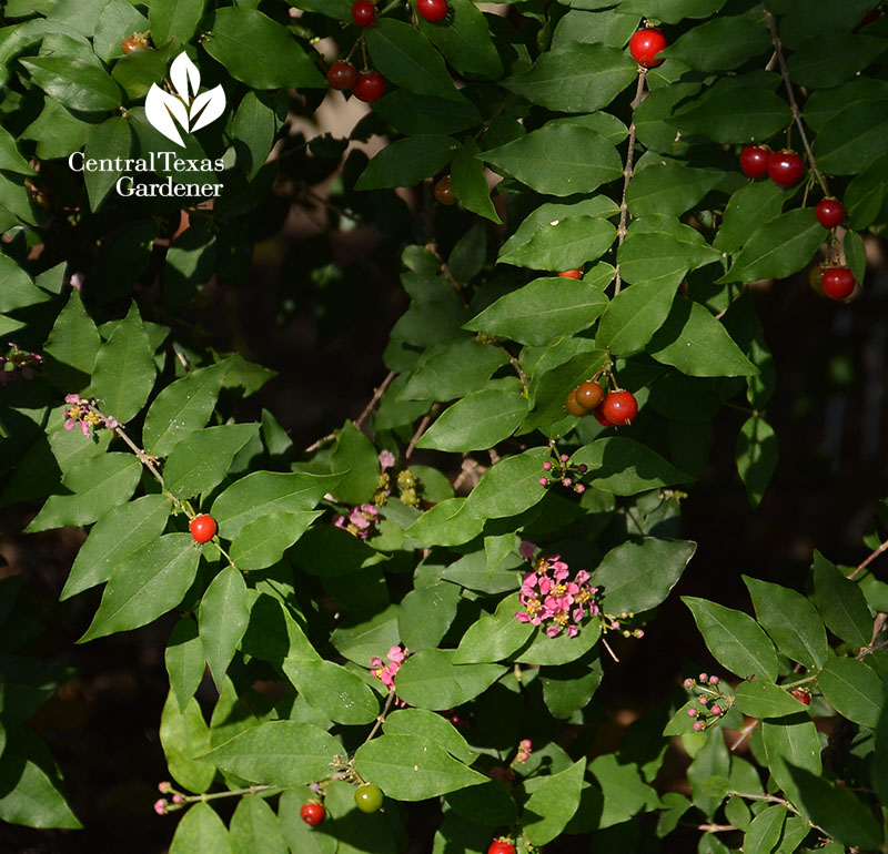 Barbados cherry flowers and fruit Central Texas Gardener