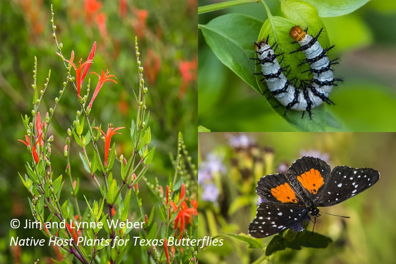 Flame Acanthus and Crimson Patch butterfly Native Host Plants for Texas Butterflies