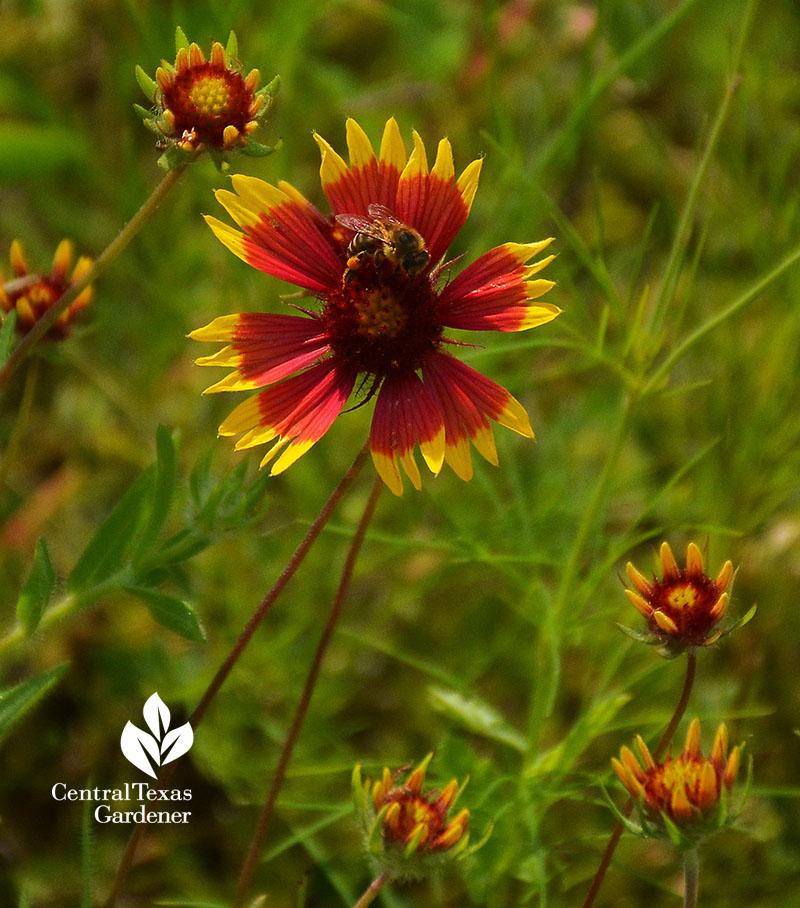 bee on firewheel Indian blanket Gaillarai pulchella wildflower Central Texas Gardener