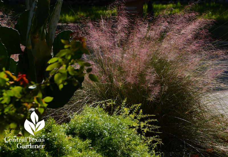 Gulf muhly fall color Central Texas Gardener