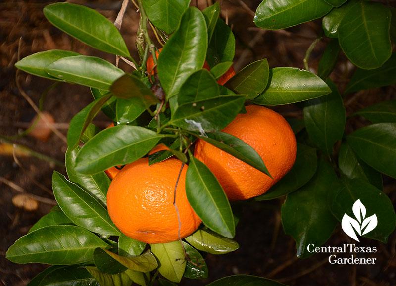 Satsuma oranges in winter Central Texas Gardener