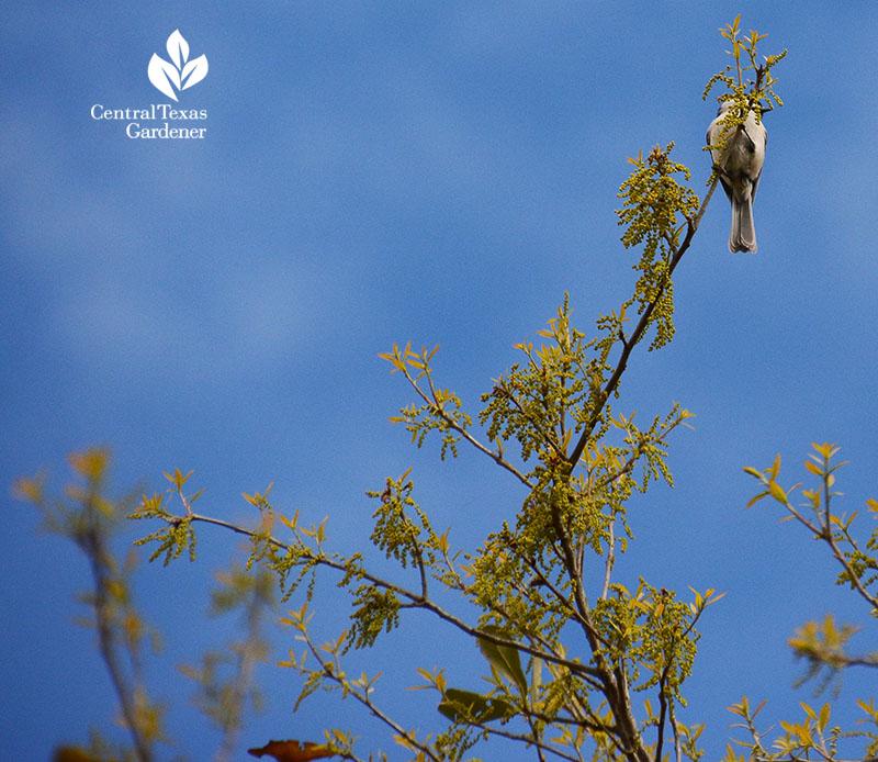 mockingbird on live oak tree that is pollinating