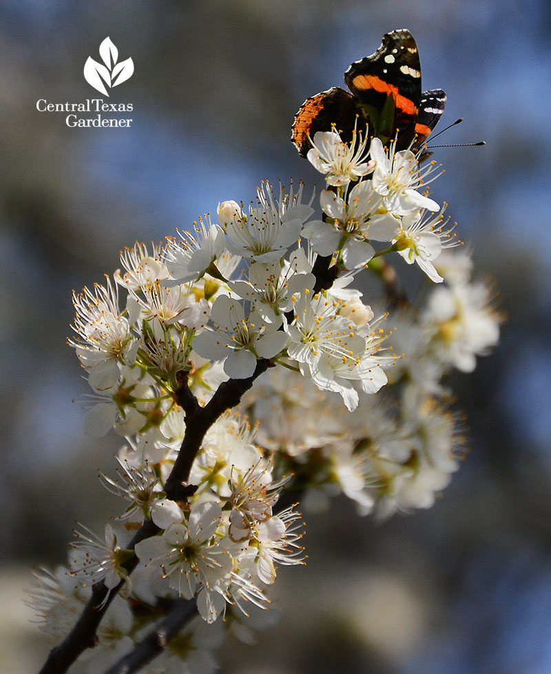 Red Admiral butterfly Mexican plum Central Texas Gardener
