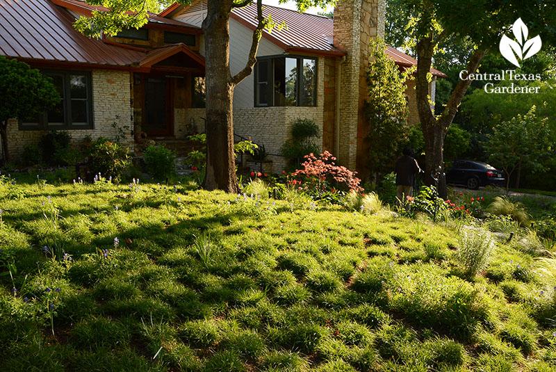 Front yard sedge lawn Central Texas Gardener
